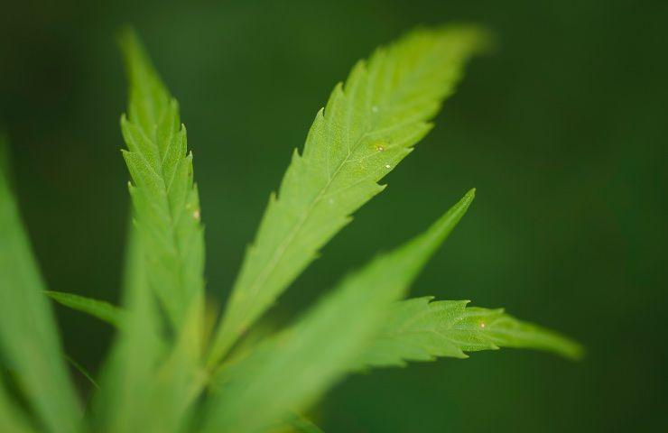 Cannabis via libera coltivazione casa piantine legali
